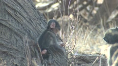 Chacma Baboon Young Playing Winter Stock Footage