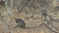 Chacma Baboon Female Adult Young Several Feeding Winter Stock Footage