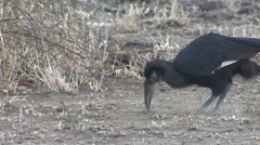 Southern Ground Hornbill Winter Stock Footage
