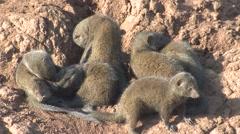 Dwarf Mongoose Winter Stock Footage