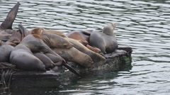 Group Sea Lions on Edge of Pier Stock Footage