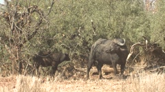 Stock Video Footage of Cape Buffalo Winter