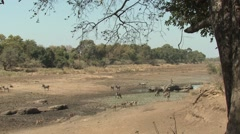 Waterbuck Several Winter Dry Riverbed Stock Footage
