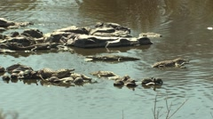 African Crocodile Several Winter Stock Footage