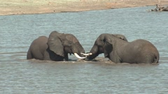 African Elephant Bull Adult Pair Playing Winter Water Stock Footage