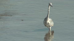 Grey Heron Winter Stock Footage