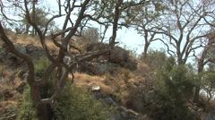Klipspringer Winter Zoom In Stock Footage