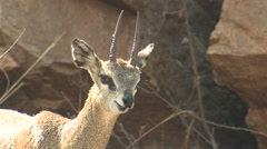 Klipspringer Winter Stock Footage