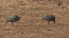 Helmeted Guineafowl Winter Stock Footage