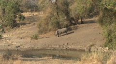 White Rhinoceros Lone Standing Winter Water Stock Footage