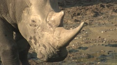 White Rhinoceros Adult Winter Horn Ivory Closeup - stock footage