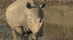 White Rhinoceros Adult Lone Standing Winter Stock Footage