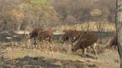 Sable Antelope Winter Stock Footage