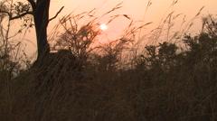 Stock Video Footage of Cape Buffalo Winter Sunrise