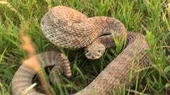 Prairie Rattlesnake Winter Stock Footage