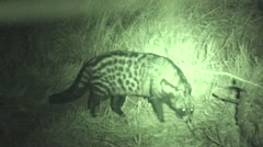 Civet Winter Night Infrared - stock footage