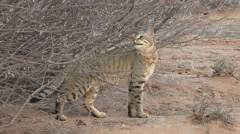 African Wild Cat Winter Kalahari Stock Footage