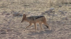 Jackal Walking Winter Kalahari Stock Footage