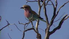 Lilac-breasted Roller Winter Kalahari Stock Footage