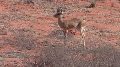 Steenbok Lone Walking Winter Kalahari Stock Footage