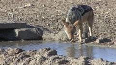 Jackal Lone Drinking Winter Kalahari Stock Footage