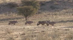 Gemsbok Adult Several Walking Winter Kalahari Stock Footage