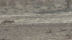 Jackal Several Running Winter Dusk Kalahari Stock Footage