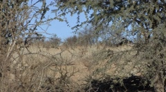 Secretary Bird Pair Winter Kalahari Stock Footage