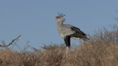 Secretary Bird Winter Kalahari Stock Footage