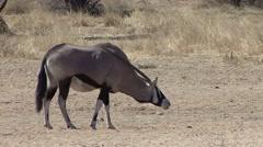 Gemsbok Adult Lone Scratching Winter Oryx Kalahari Itching Horn - stock footage