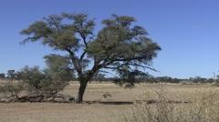 Kori Bustard Winter Kalahari Stock Footage