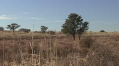 Savannah Kgadagali Transfrontier Park Winter Lions Grass Stock Footage