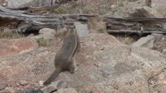 Golden-mantled Ground Squirrel Winter - stock footage