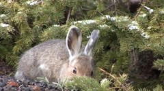 Snowshoe Hare Winter Stock Footage