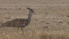 Kori Bustard Winter Kalahari Stock Footage