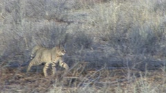 African Wild Cat Winter Kalahari Stock Footage