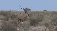 Gemsbok Adult Lone Standing Winter Kalahari Stock Footage
