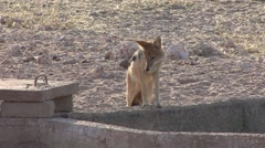 Jackal Lone Alarmed Winter Kalahari - stock footage