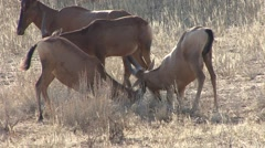 Hartebeest Pair Playing Winter Fighting Stock Footage