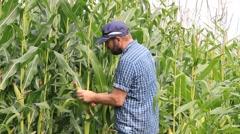 Man in a cornfield checks the corn cob Stock Footage