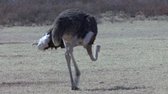 Ostrich Cock Lone Walking Winter Kalahari Zoom Out Stock Footage