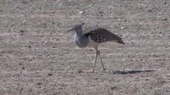 Kori Bustard Lone Winter Kalahari Stock Footage