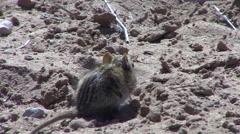 Striped Mouse Winter Kalahari Stock Footage