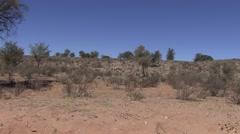 Gemsbok Adult Lone Standing Winter Oryx Stock Footage