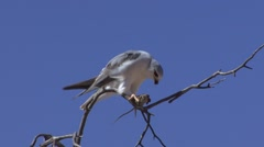 Southern Pale Chanting Goshawk Feeding Winter Kalahari Stock Footage