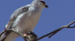 Southern Pale Chanting Goshawk Feeding Winter Kalahari - stock footage