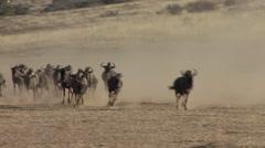 Stock Video Footage of Blue Wilderbeest Herd Running Winter Gnu