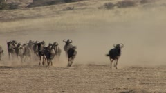 Blue Wilderbeest Herd Running Winter Gnu - stock footage