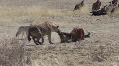 Spotted Hyena Winter Kalahari Carcass Carrion - stock footage