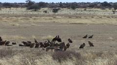 White-backed Vulture Many Winter Kalahari Stock Footage